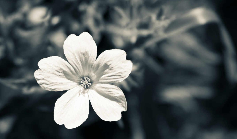 чёрно, макро, красивые, цветы, белое, white, цветами, цветка, белые,
