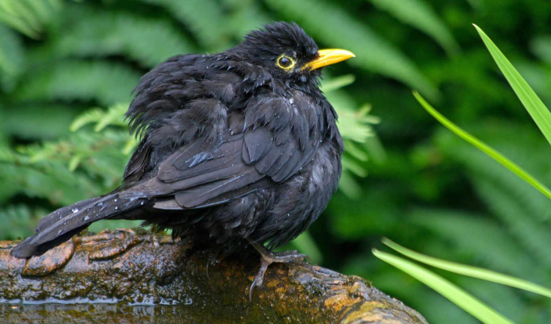 молочница, птица, black, цыпочка, дроздов, желторотик, категории,