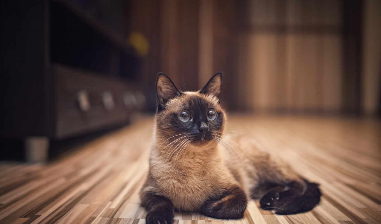 кот, сиамская, лежит, полу, кошки,