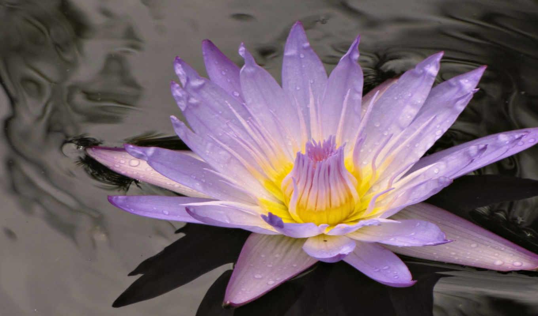 обои, цветы, цветок, воде, красивые, лотос, широко