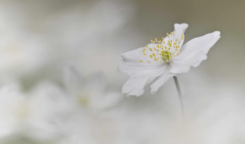 anemone, nemorosa, photos, flickr, des,
