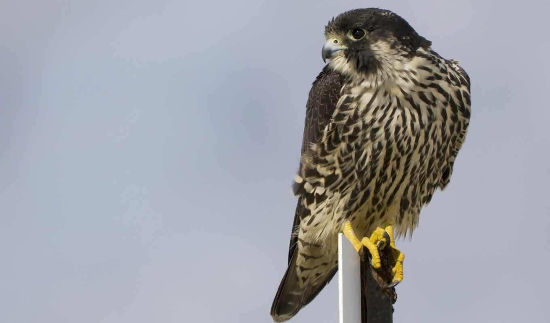 сапсан, птица, falcon, profile, взгляд,