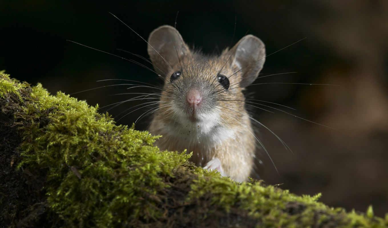 мышь, усатая, мыши,