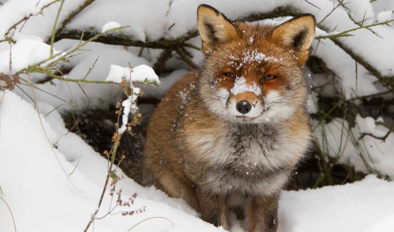 фокс, лис, лисы, hunting, online, яndex, puzzle, волков, коллекциях, коллекция,