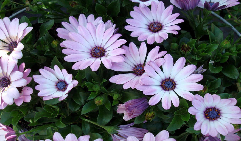 flowers, resolution, high, цветы, desktop, ромашки, picture, background, download, click,