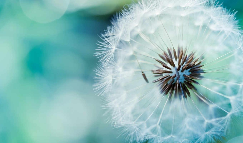 ,dandelion, макро, flower, воздушный, одуванчик, картинка,