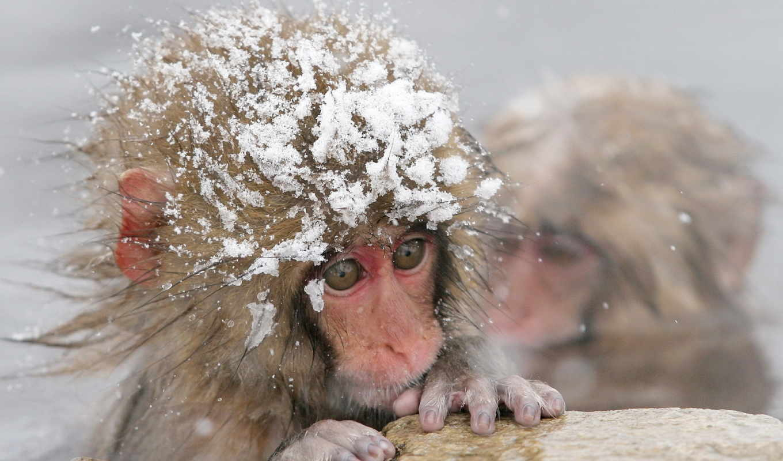 макаки, японские, обезьяны, макак, источнике, макака, янв, горячем, купаются, macaca, fuscata,