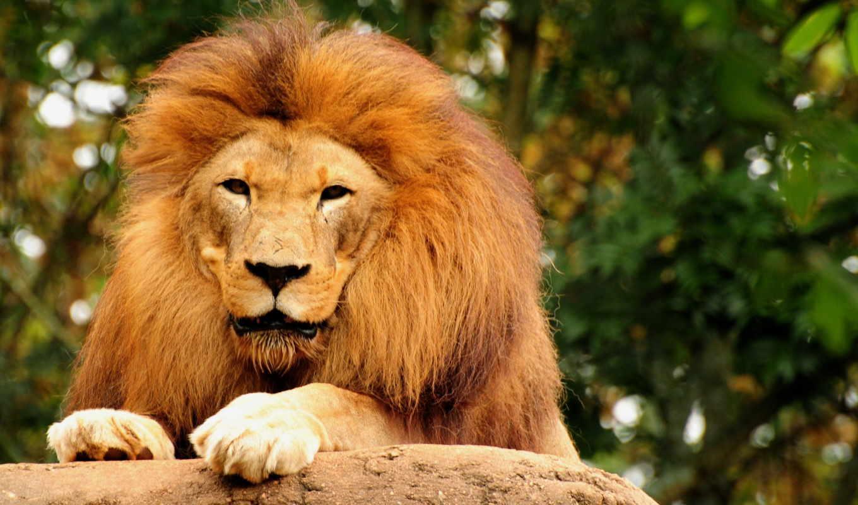 king, lion, зверей, животные,