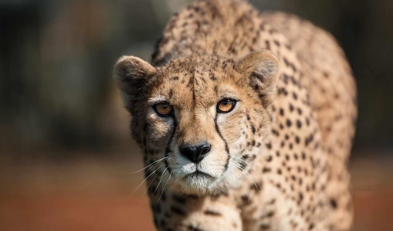 гепард, хищник, дикая, взгляд, природа,
