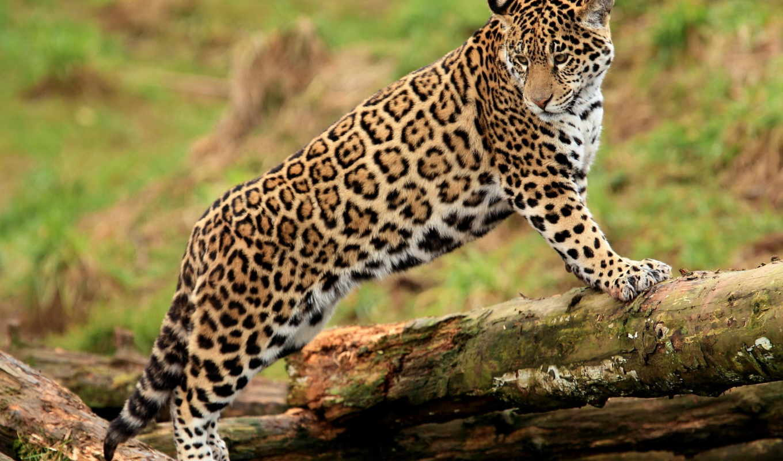леопард, jaguar, семейства, кошачьих, everything, они, животных, очень, взгляд,