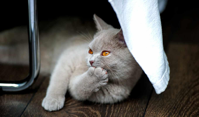 кот, ipad, kot, котенок, charakter, британец, кота