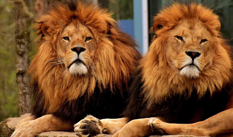 leone, lion, dos, хищник, foto, una, ataque, por