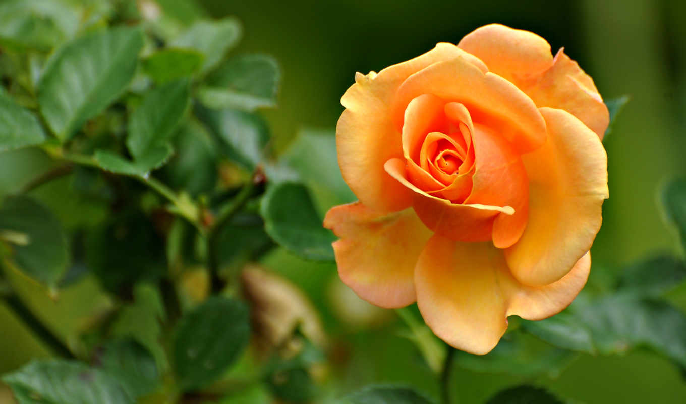 rose, peach, desktop, vintage, flowers, colored, orange, download, best, nature,