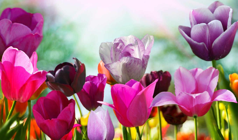 цветы, flowers, тюльпаны,