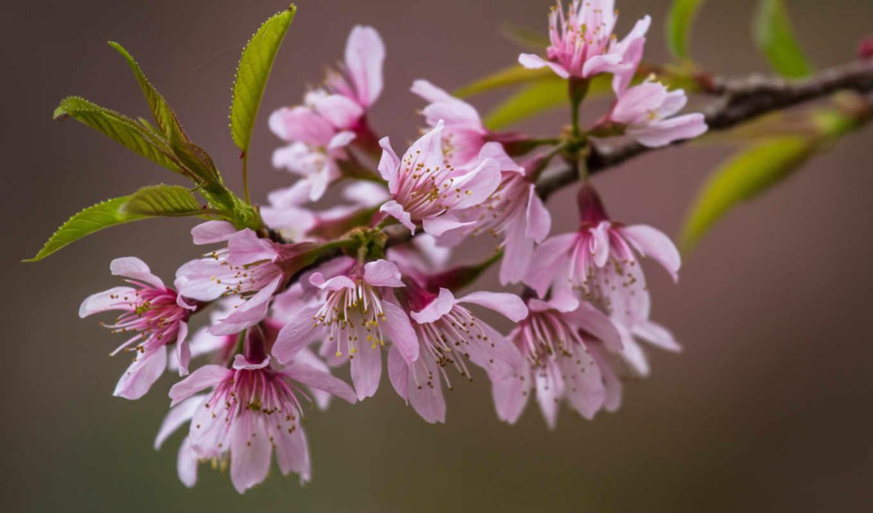 branch, цветы, Сакура, розовые, листья,