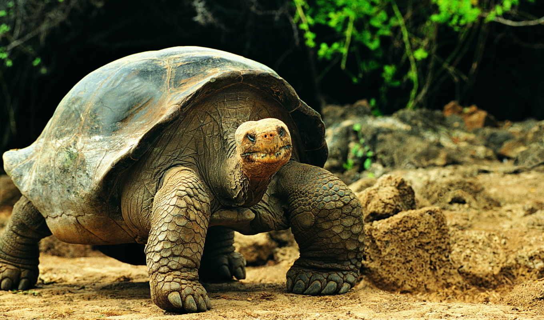 обои, черепаха, черепахи, животные, фото, большая,