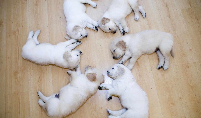 лабрадоры, labrador, щенки, zhivotnye, собаки, щеночки, спящие, щенок, собака, белые, спят,