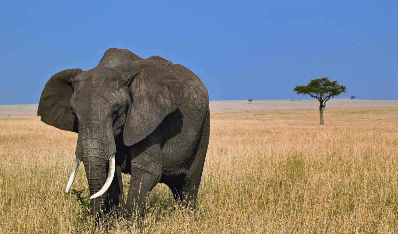 слон, африка, саванна, картинка, картинку, африканский,