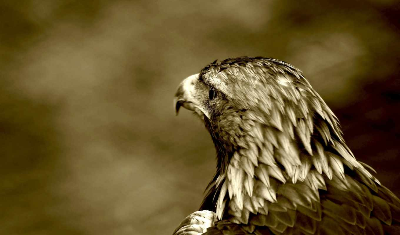 сокол, птица, ястреб, хищник,