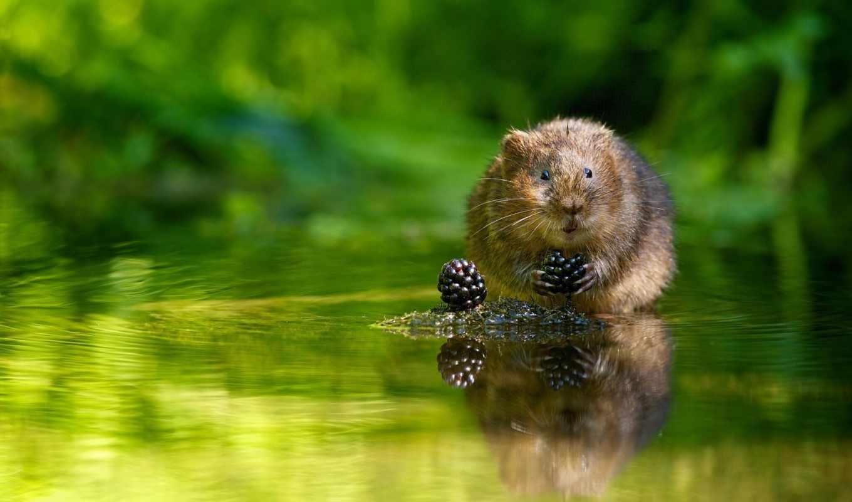 полёвка, водяная, грызун, крыса, ягоды, картинок,