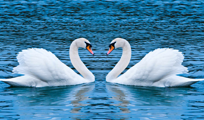 лебеди, pair, zhivotnye,