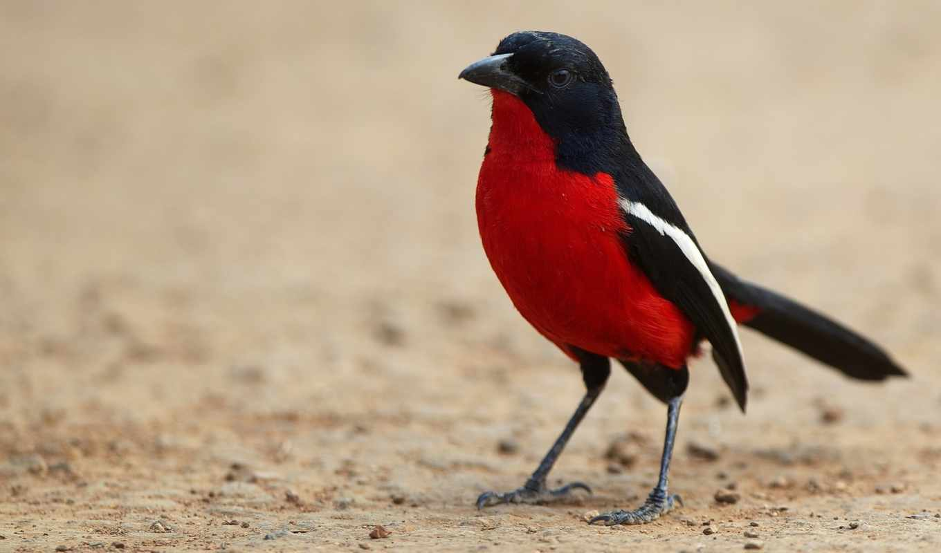 птица, ук, black, birds, cute, red, yellow, breasted,