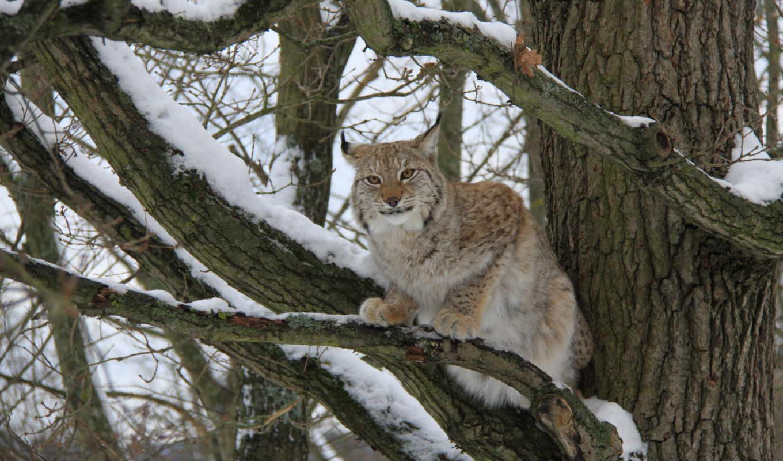 животные, нов, красивые, рысь, категории, дерево, зверей, фотографии, branch, кб,
