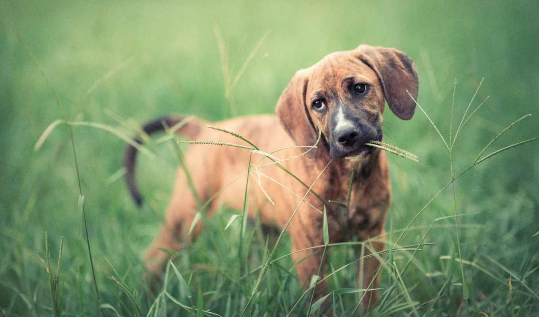 makro, травинка, zhivotnye, tapety, траву, собачка, ест, загрузок,