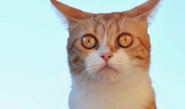 бирюзовый, кот, red, взгляд, морда, ушастик, картинка,