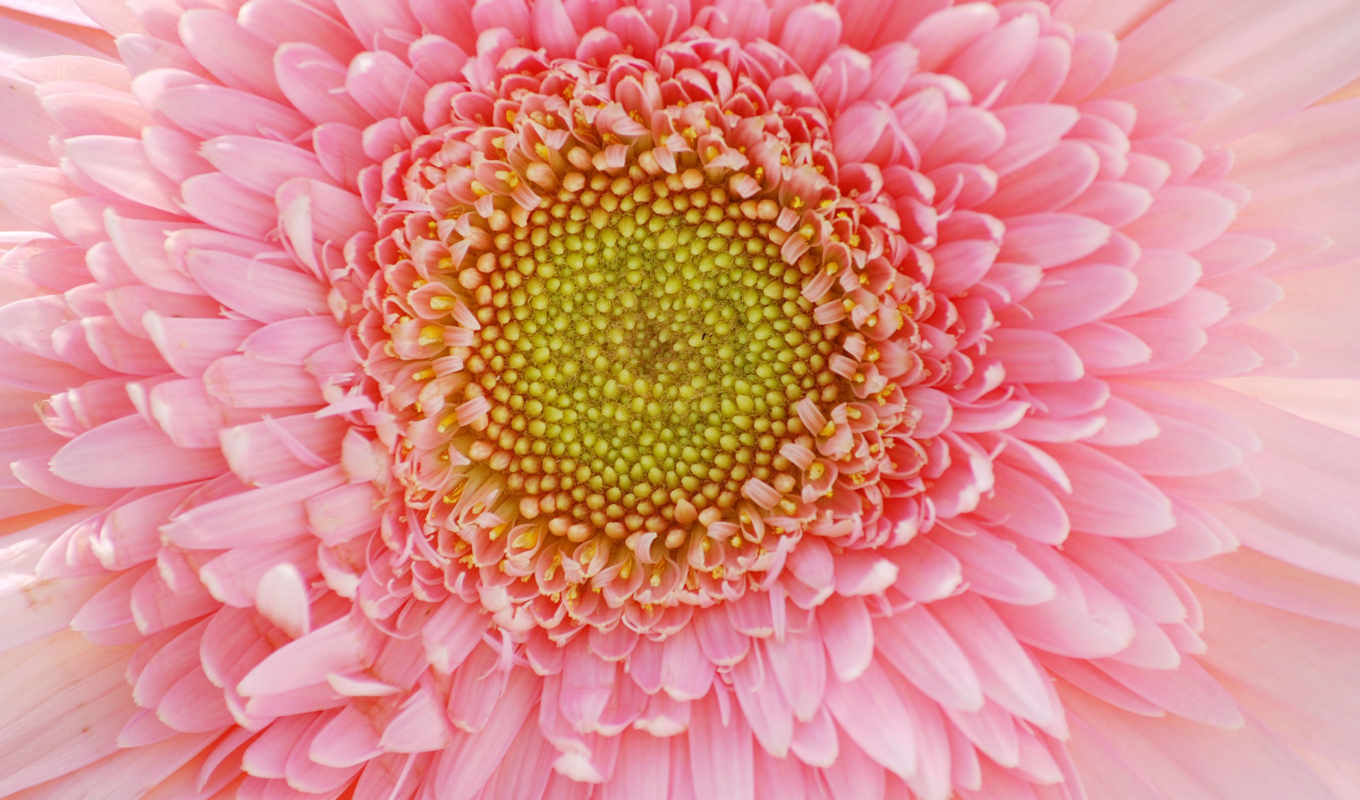 flowers, free, цветы, photos, pictures,