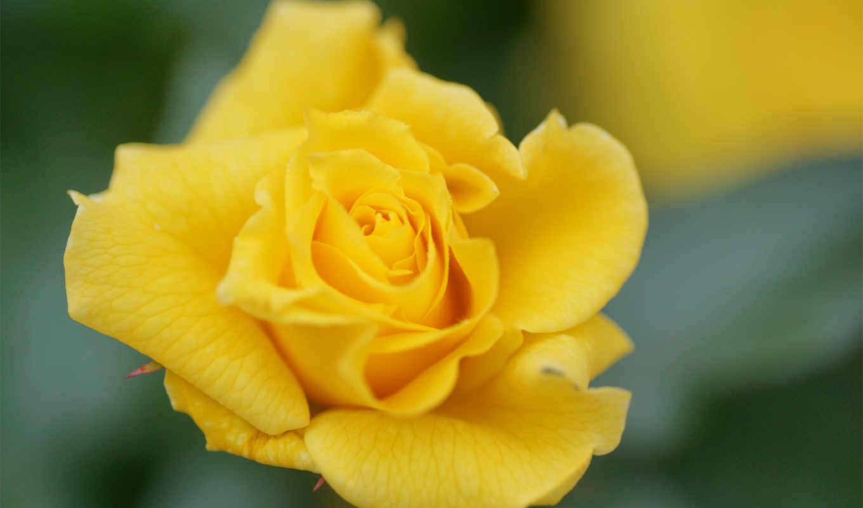 rose, flower, yellow, макро, фото, желтая,