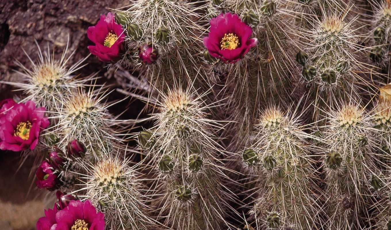 кактусы, цветы, цветущий, цветущие,