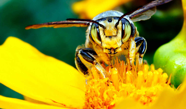 тычинки, пчела, нектар, цветок, желтый, лепестки, насекомое, пестик, картинка, картинку,