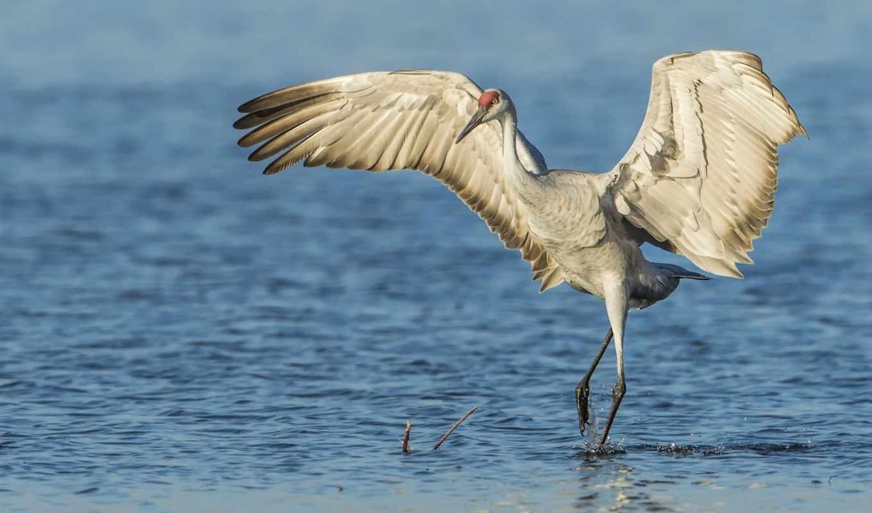 журавль, птица, крылья, вода,