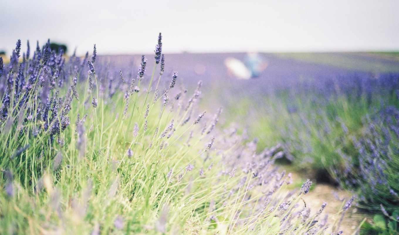 цветы, lavender, цвета, поле, зелёный, растение,