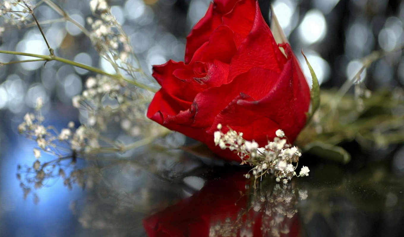 red, роза, roses, images, desktop, free,