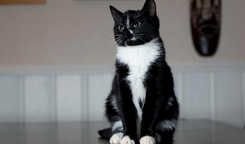 кот, чёрно, белая, white, дек,