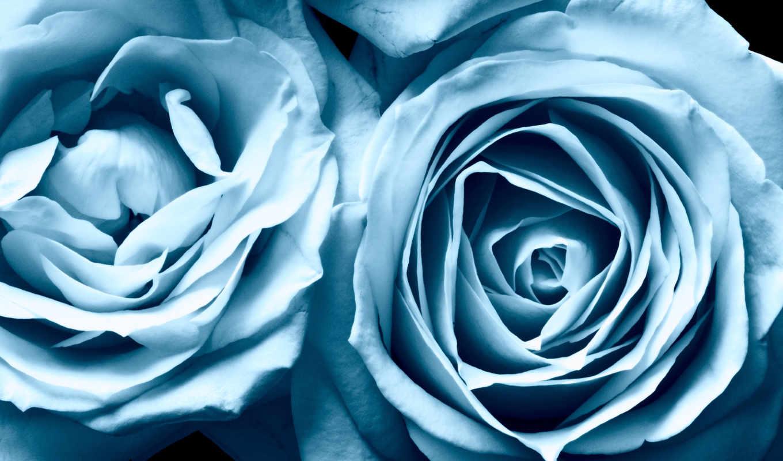 розы, цветы, высокого, качества, разрешения, голубые,