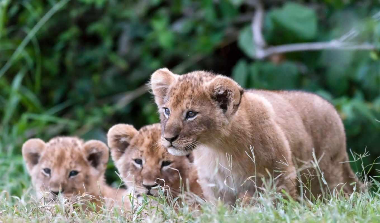 cubs, lion, lions, слои, pictures, детишки,