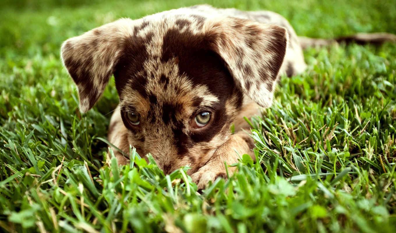 wallpaper, щенок, dogs, puppy, brown, cute, траве, wallpapers, пятнистый, красивые, desktop, грусть,
