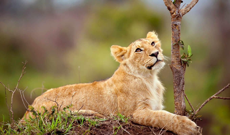 lion, small, смотрит, взгляд,