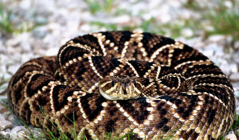 гремучая, змея, змеи, crotalidae, гремучие,