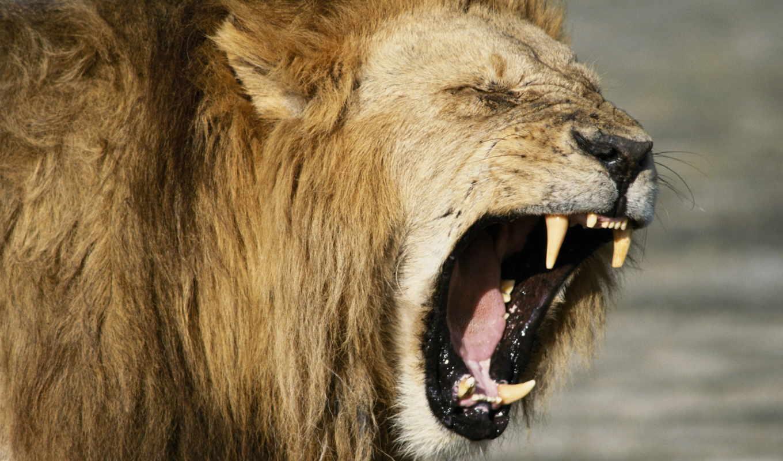 lion, злой, льва, клыки, зубы,
