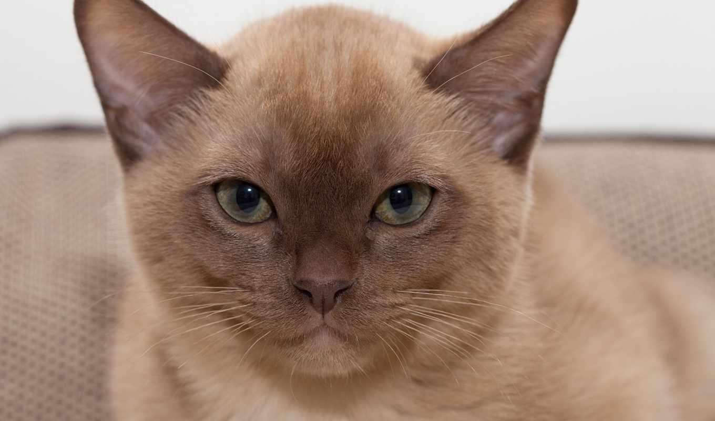 кот, burmese, котенок, глаза, eyes, preview, ebay, eur,