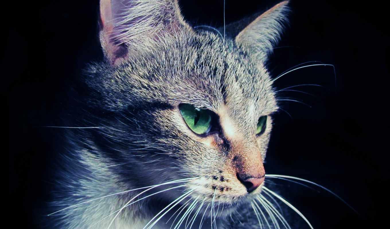 шерсть, макро, уши, кошка, глаза, морда, кошки, усы,