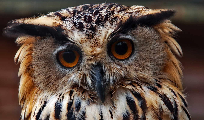сова, хищник, птица, взгляд, глаза,
