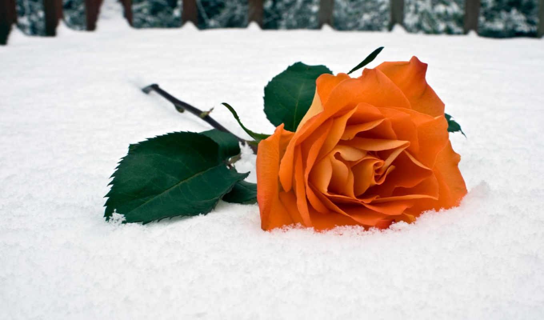 роза, снегу, красная, winter,