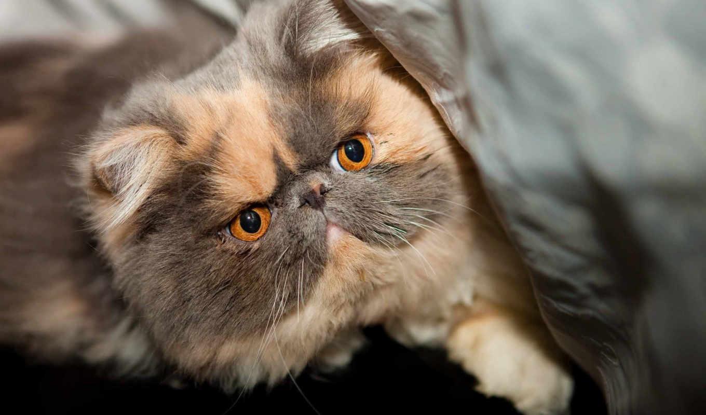 котята, exotic, кошек, котенок, заставки, порода, кот, голубоглазый, spotted,