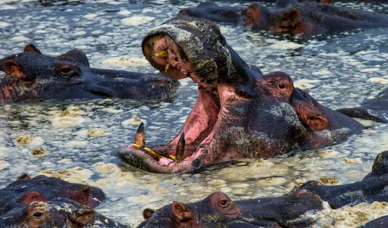 животных, зооклубе, бегемоты, гиппопотам, бегемот,