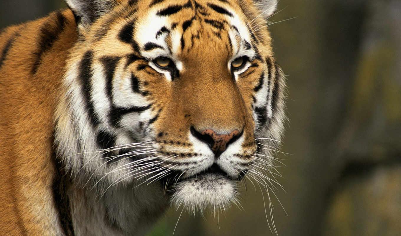 тигры, морда, кошки, тигр,